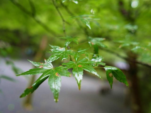 雨に濡れたモミジ、針灸整体のよもぎあんは橋本市