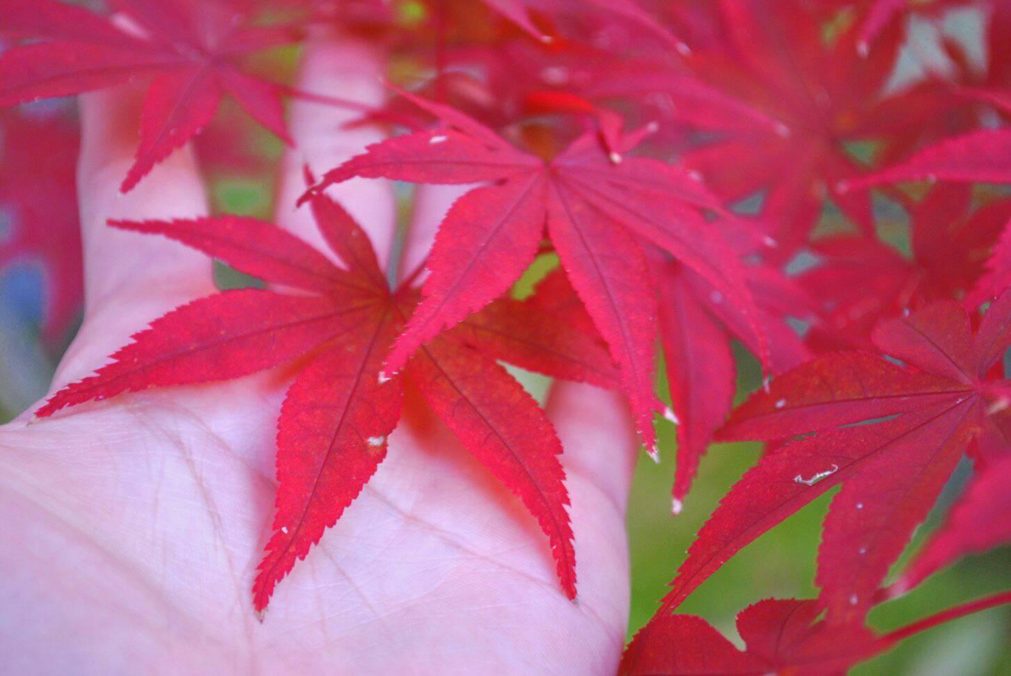 手のひらと紅葉の写真