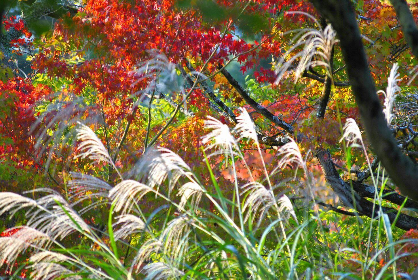 ススキと紅葉のコラボ写真