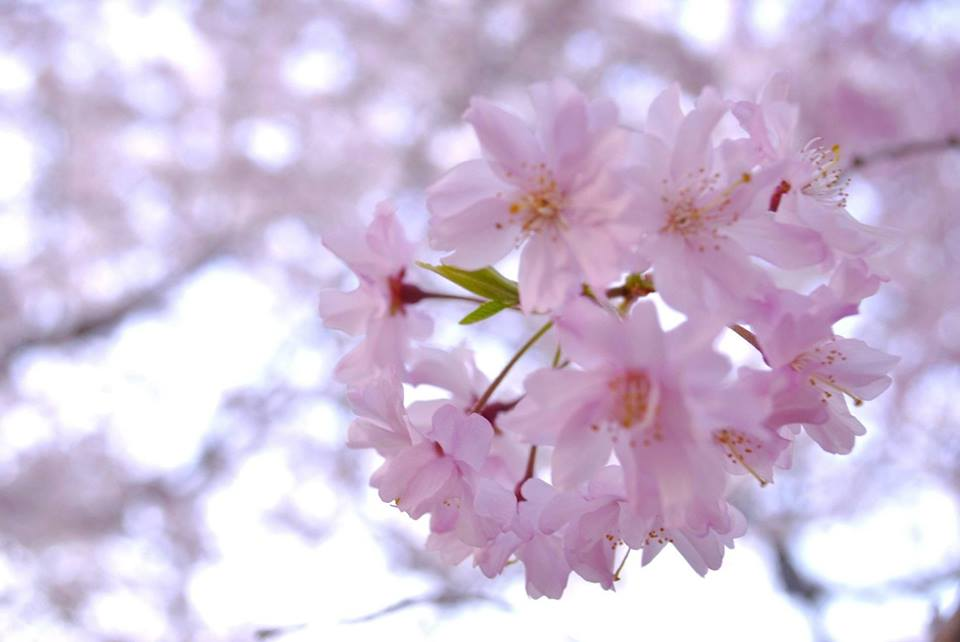大阪城の桜の写真、とても綺麗です