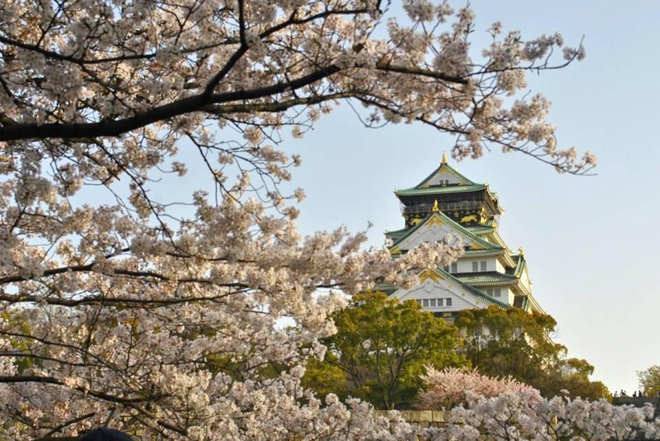 桜と大阪城の天守閣の写真です