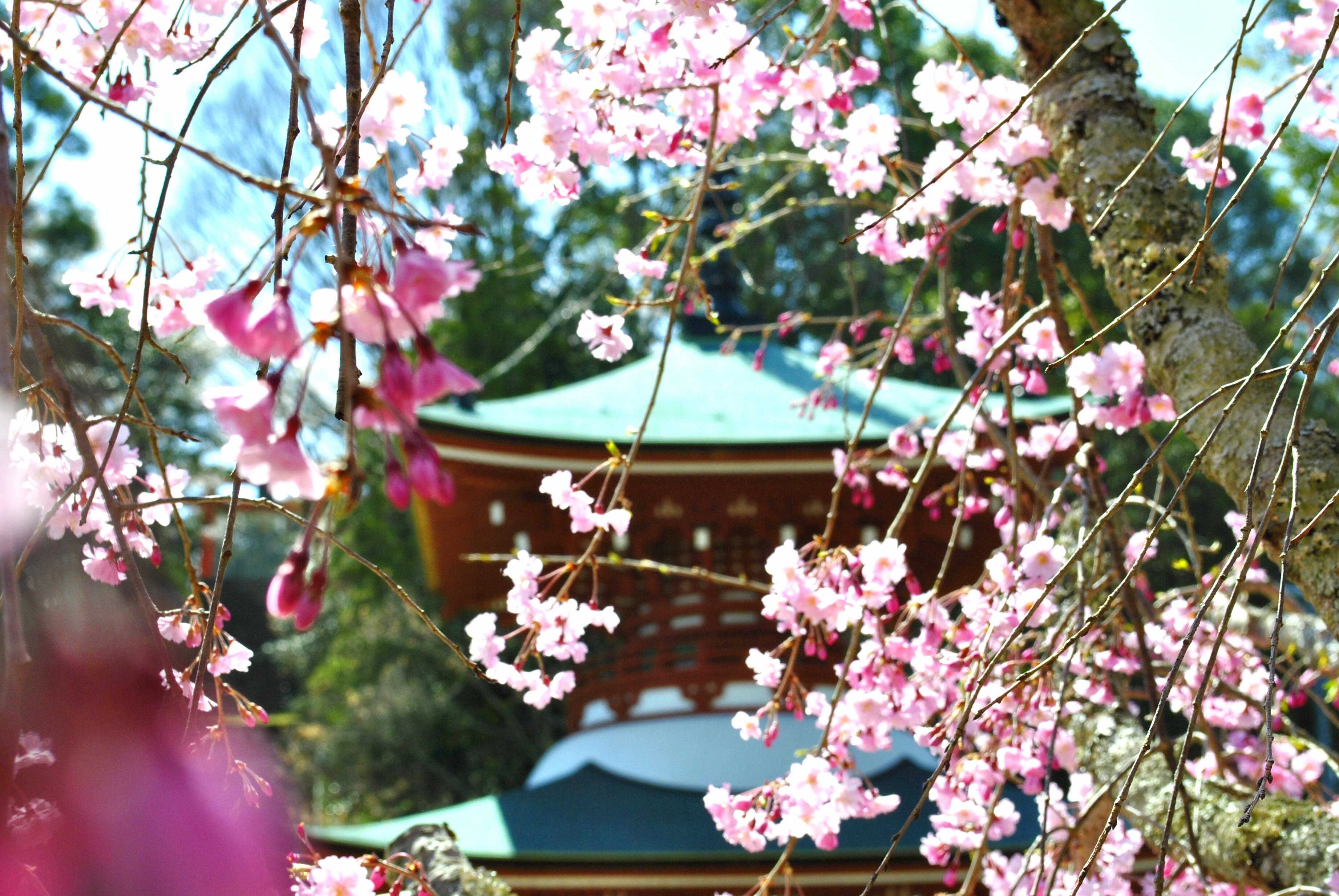 慈尊院の桜の写真