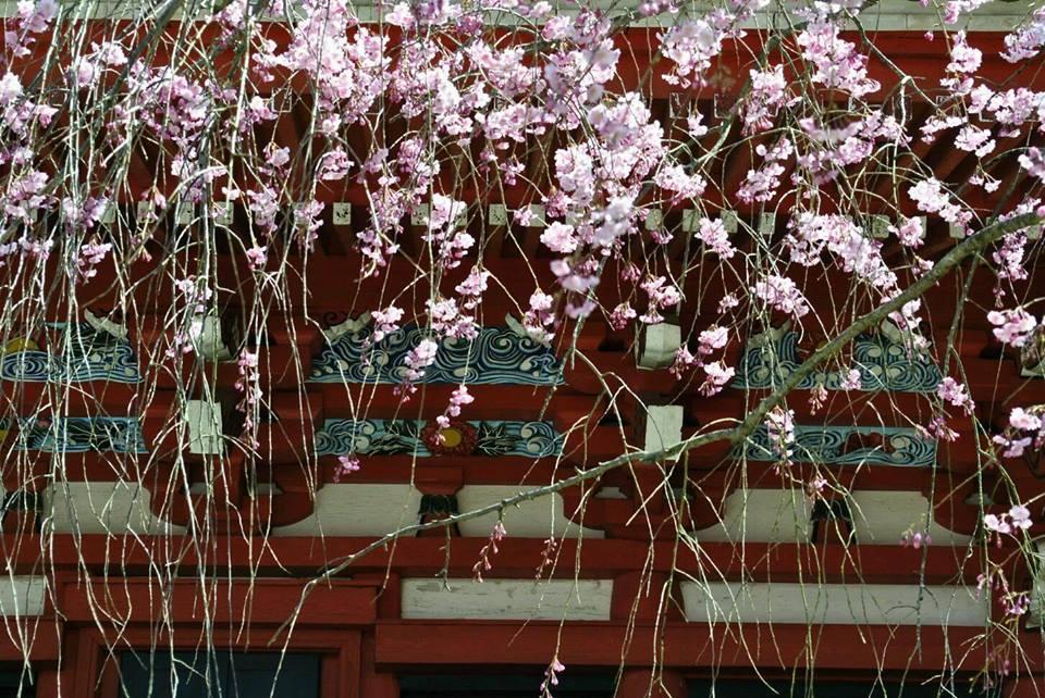 勝利寺の桜の写真