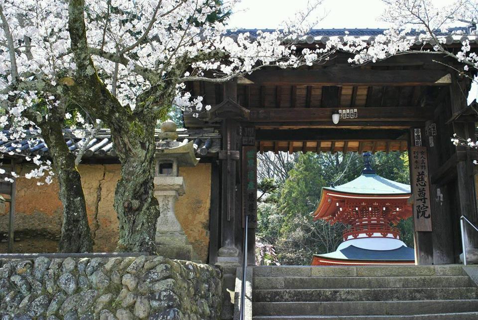 九度山町の世界遺産、慈尊院の桜の写真
