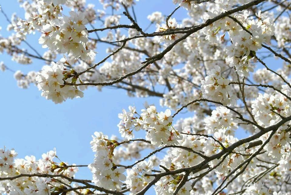 丹生官省符神社の桜の写真