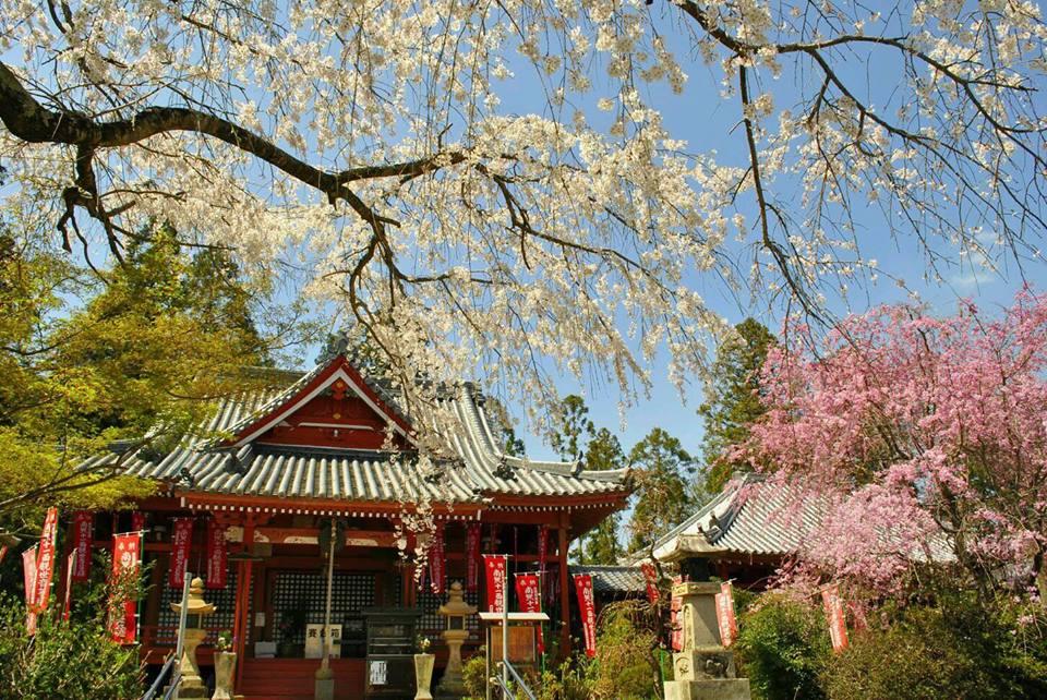 勝利寺の桜のさくらの写真