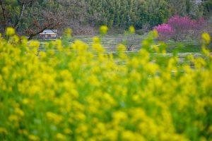 甘樫丘(明日香村)の菜の花