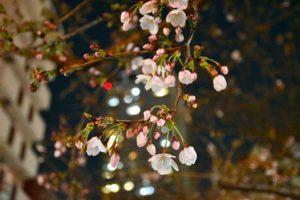 元町中公園の桜